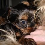 Najmenší pes - 2.miesto - Sunny