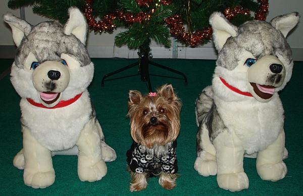 Husky a Yorkie