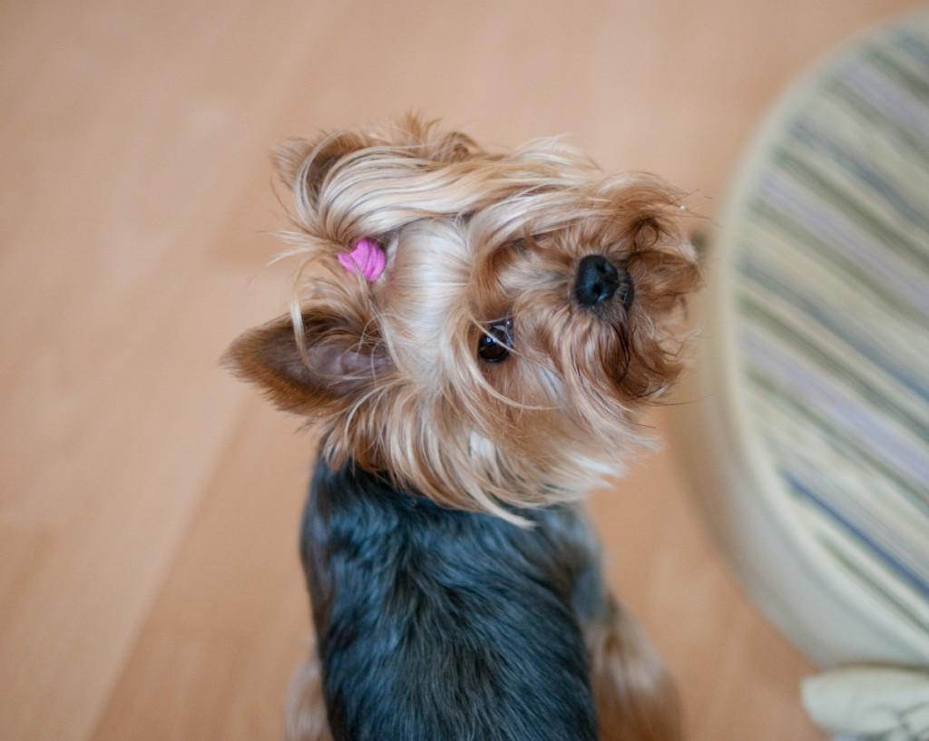 Yorkshire Terrier - Stella