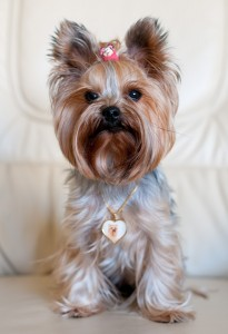 Yorkshire Terrier Sunny