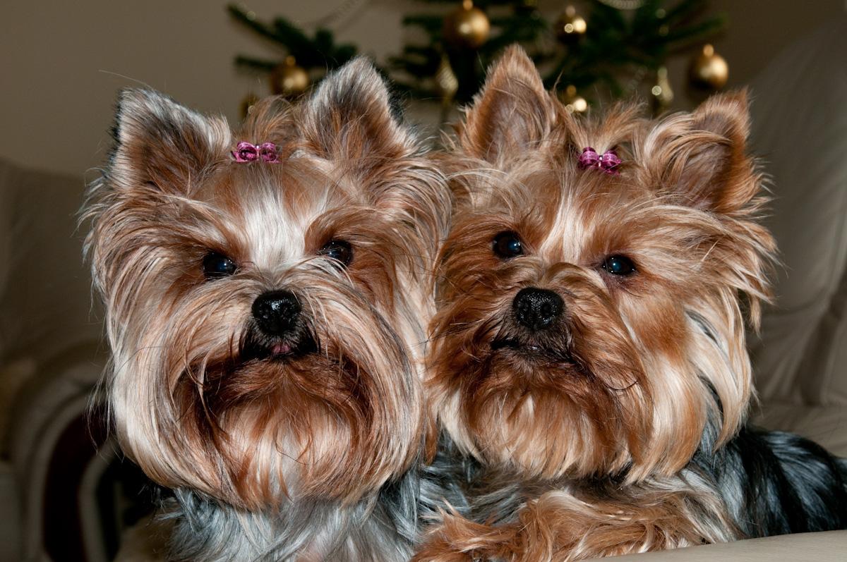 Vianoční chlpáči